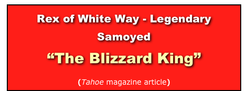 Rex of White Way - Legendary Samoyed 